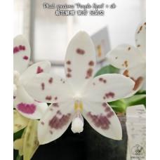 Phal. Speciosa Purple Spot × sib