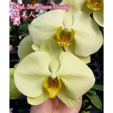 Phal. Star Green Beauty 1,7