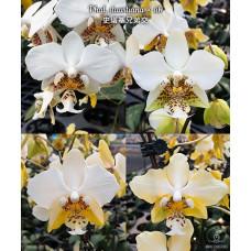 Phal. Stuartiana × sib