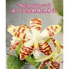 Phal. Sumatrana × sib