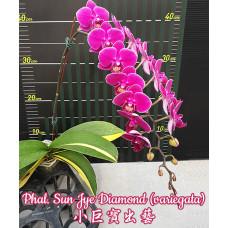 Phal. Sun Jye Diamond 1,7