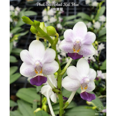 Phal. Sus Glad Kid Blue 1,7