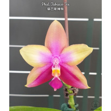 Phal. Tabasco Tex 1,7