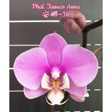 Phal. Taisuco Anna