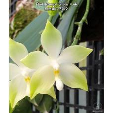Phal. Tetraspis Green × sib