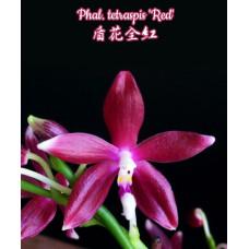 Phal. Tetraspis Red