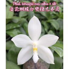 Phal. Tetraspis var. Alba × sib