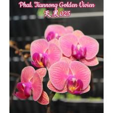 Phal. Tiannong Golden Vivien