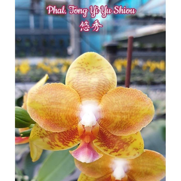 Phal. Tong Yi Yu Shiou