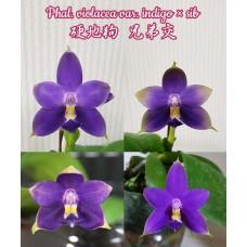 Phal. Violacea Indigo x sib