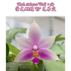 Phal. Violacea Pink × sib