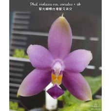 Phal. Violacea var. coerulea 1,7
