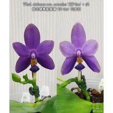 Phal. Violacea var. coerulea KF-lan × sib