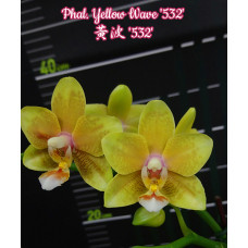 Phal. Yellow Wave 532