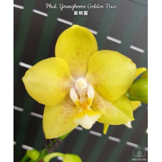 Phal. Younghome Golden Pixie