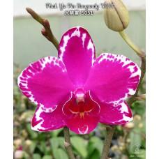 Phal. Yu Pin Burgundy 5051