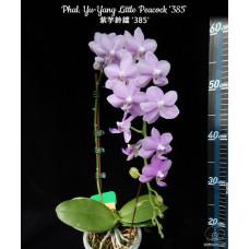 Phal. Yu-Yang Little Peacock 1,7