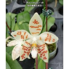 Phal. Zebrina × sib