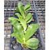 Фаленопсис (Bellina x sib)
