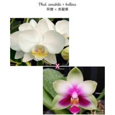Phal. Amabilis × Bellina