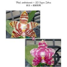 Phal. Amboinensis × KS Super Zebra