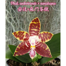 Phal. Amboinensis × Sumatrana