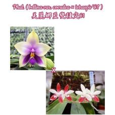 Phal. Bellina var. Coerulea × Tetraspis C1