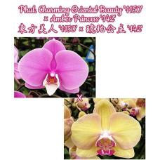 Phal. Charming Oriental Beauty 1150 × Amber Princess 142