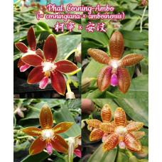 Phal. Corning-Ambo 1,7