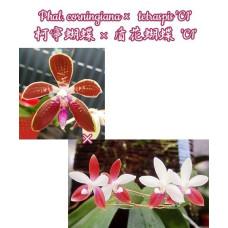 Phal. Corningiana × Tetraspis C1