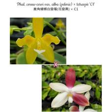 Phal. Cornu-Cervi var. Alba peloric × Tetraspis C1