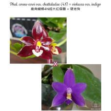 Phal. Cornu-cervi var. Chattaladae 4N × Violacea var. Indigo