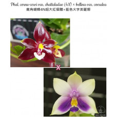Phal. Cornu-cervi var. Chattaladae 4N × Bellina var. Coerulea