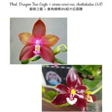 Phal. Dragon Tree Eagle × Cornu-Cervi var. Chattaladae 4N
