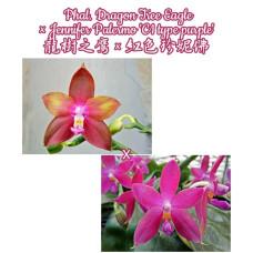 Phal. Dragon Tree Eagle × Jennifer Palermo C1 Type Purple 1,7