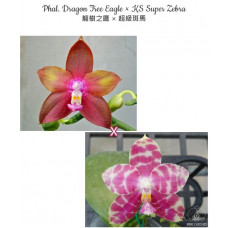 Phal. Dragon Tree Eagle × KS Super Zebra