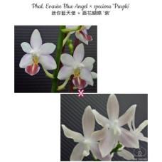 Phal. Evarise Blue Angel × Speciosa Purple