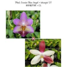 Phal. Evarise Blue Angel × Tetraspis C1