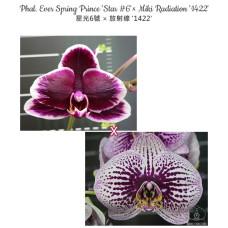 Phal. Ever Spring Prince Star 6 ×  Miki Radiation