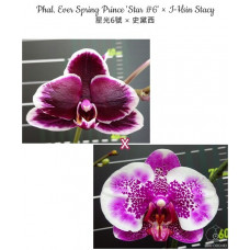 Phal. Ever Spring Prince Star 6 × I-Hsin Stacy
