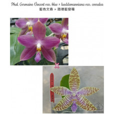 Phal. Germaine Vincent var. Blue × Lueddemanniana var. Coerulea