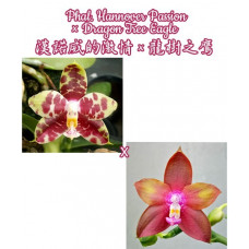 Phal. Hannover Passion × Dragon Tree Eagle