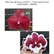 Phal. Haur Jih Fancy A06332 × I-Hsin Fantastic Pearl