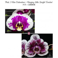 Phal. I-Hsin Dalmatian × Hsinying Little Knight Voodoo 1,7