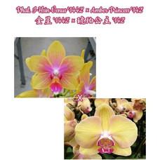 Phal. I-Hsin Venus 1442 × Amber Princess 142