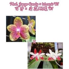 Phal. Jungo Candy × Tetraspis C1