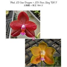Phal. LD Sun Dragon × Lds Bear King RH-3