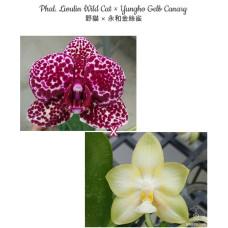Phal. Lioulin Wild Cat × Yungho Gelb Canary