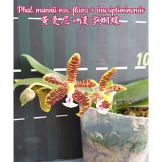 Phal. Mannii var. Flava × Inscriptiosinensis