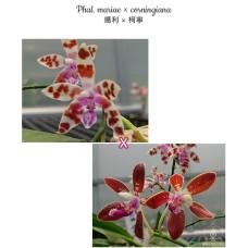 Phal. Mariae × Corningiana